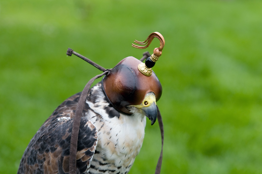 how to become a falconer uk